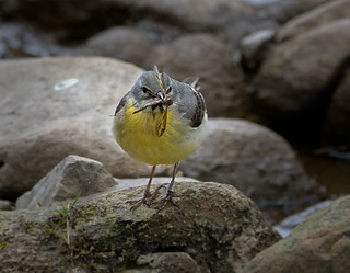 Grey Wagtail 2 | by Richard Towell