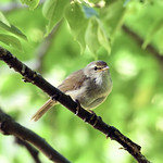 Nightingale in a green
