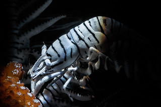 Zebra crinoid shrimp | by Luko GR