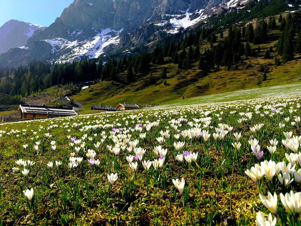 Alpine meadow in April with crocuses