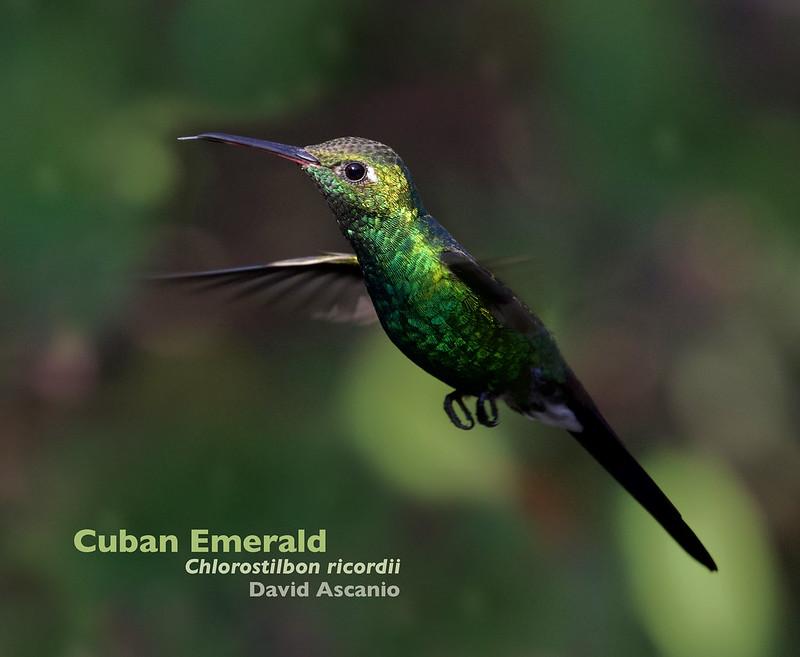 Cuban Emerald, Chlorostilbon ricordii_199A3258