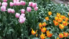 Tulip Garden @ Keukenhof, Amsterdam, Holland