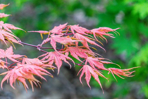 Japanese Maple | by Charles G. Haacker