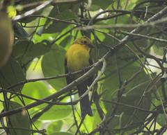 Yellow-headed Brush Finch (Atlapetes flaviceps)
