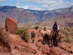 Grand Canyon - South Kaibab Trail, nearing Skeleton Point, mule train