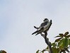 Aguililla Enana, Pearl Kite (Gampsonyx swainsonii)