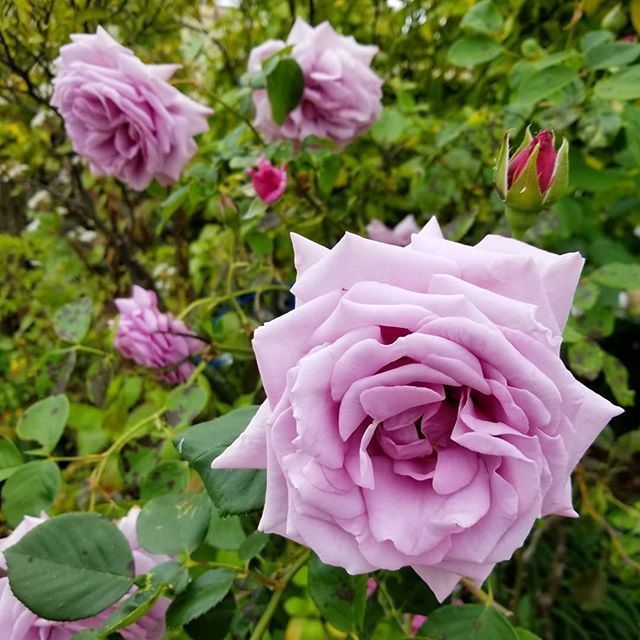 Now that we got rid of a couple non-operational cars in our driveway, we can see the flowers on our lavender Roses. In years past, this Rose wouldnt open fully and the unopened flowers would just die off. Maybe the recent rains help to make this Rose happ