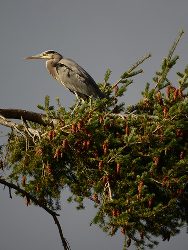 october 20 2016 11:41 - Great Blue Heron in Tree top | by boonibarb