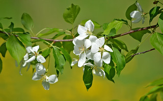 Beautiful spring 2018. Apple blossoms #Finland | by L.Lahtinen (nature photography)