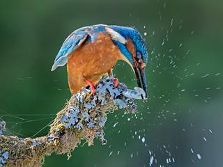 Kingfisher bashing fish   by Richard Towell