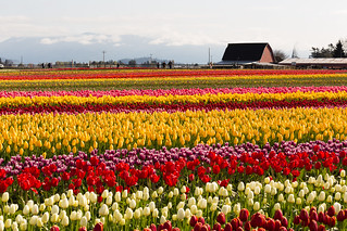 Tulip Festival | by Jonathan Miske