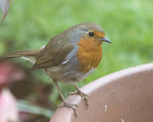 Robin3
