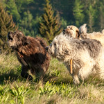 Livestock guardian dogs in action