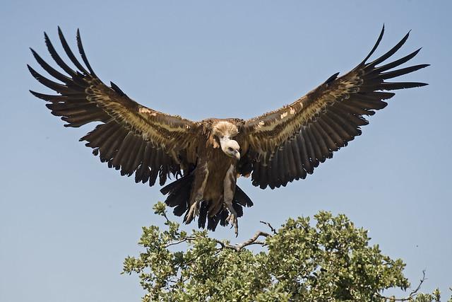 Grifone - Griffon vulture