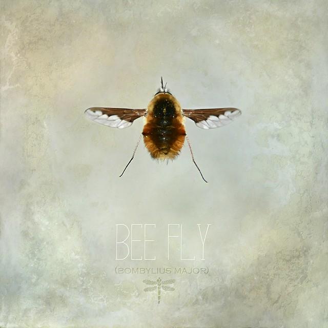 bee fly . . .