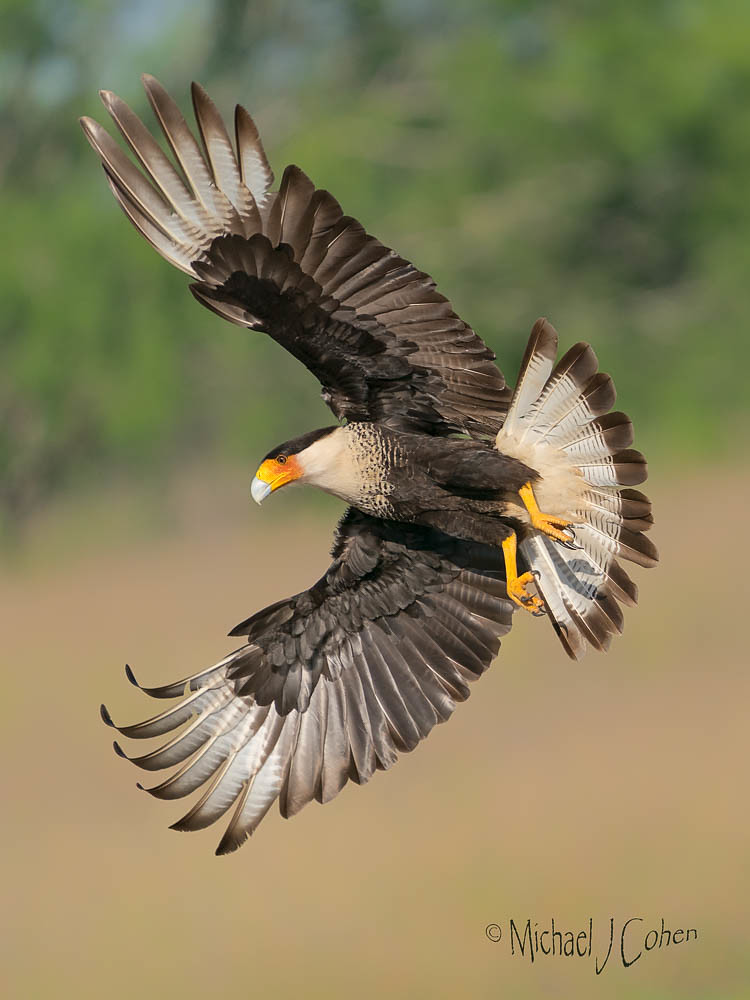 Crested Caracara in a full banking turn.