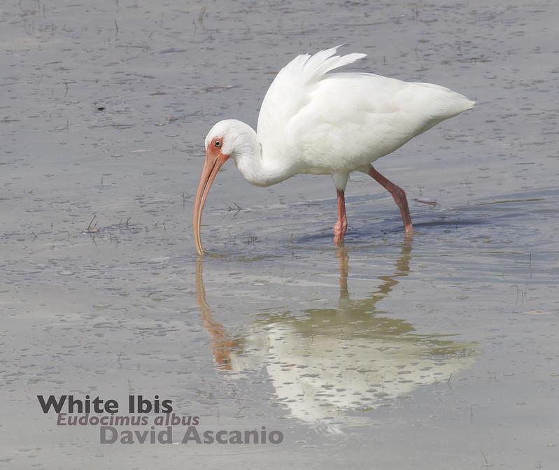 White Ibis, Eudocimus albus_199A3019