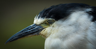 Black-crowned Night Heron (Nycticorax nycticorax) snoozing | by Wade Tregaskis