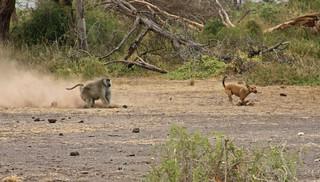 狒狒正在警戒犬隻。圖片攝於肯亞。圖片來源:Kerri Lee Smith(CC BY-NC-SA 2.0)。 | by TEIA - 台灣環境資訊協會
