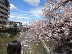 Yet more Cherry Blossom