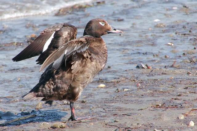 White-winged Scoter at Blackie Spit