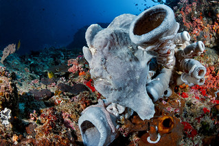 Giant frogfish on Pescador | by Luko GR