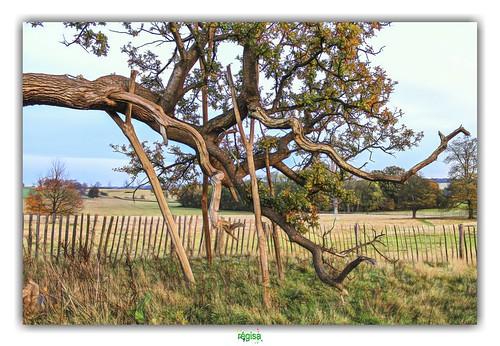arbre équilbriste échassier échasse wader spectacle show acrobate acrobat chêne penshurst penshustplace sevenoaksdistrict kent england angleterre oak bearoak heritage branche branch poteau
