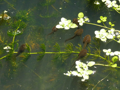 Tadpoles May23 2018 | by http://wildaboutthebritishisles.uk