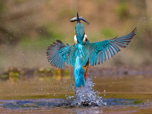 Kingfisher rising 2 | by Richard Towell
