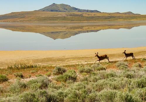 saltlake utah travel usa antelopeisland island reflection reflections animal deer landscape scenery scenic lake green blue brown