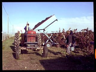 Domaine de Candie, 17 chemin de la Saudrune. 31 octobre 1979. Vendanges.