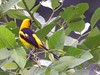 Yellow-tailed Oriole by Langooney