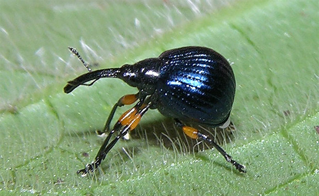 Tiny (2 mm) funny-looking weevil (Apionidae) from Panama