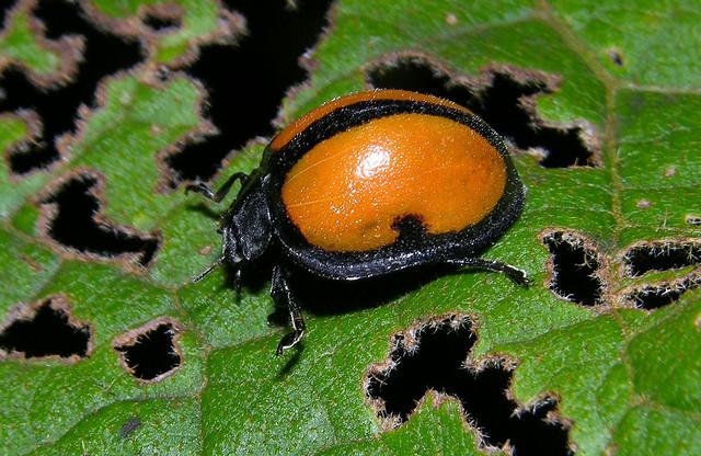Large lady beetle, Epilachna cf abrupta (Coccinellidae, Epilachninae), Panama