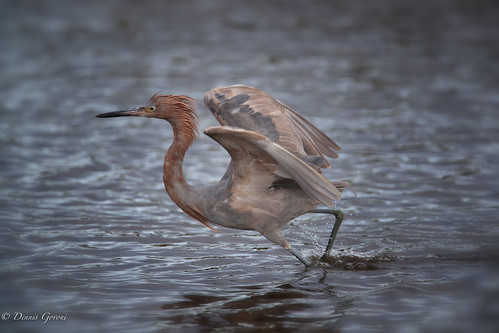 merrittisland action bird egret florida reddishegret sunrise water wildlife titusville unitedstates us