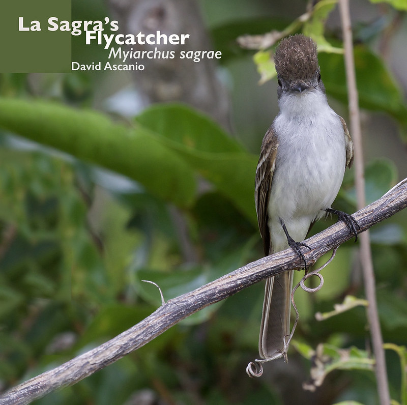 La Sagra's Flycatcher, Myiarchus sagrae_199A1249