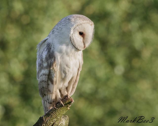 Barn owl (2 of 3)