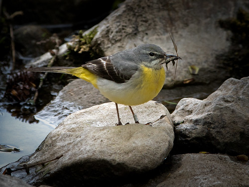 Grey Wagtail 4 | by Richard Towell