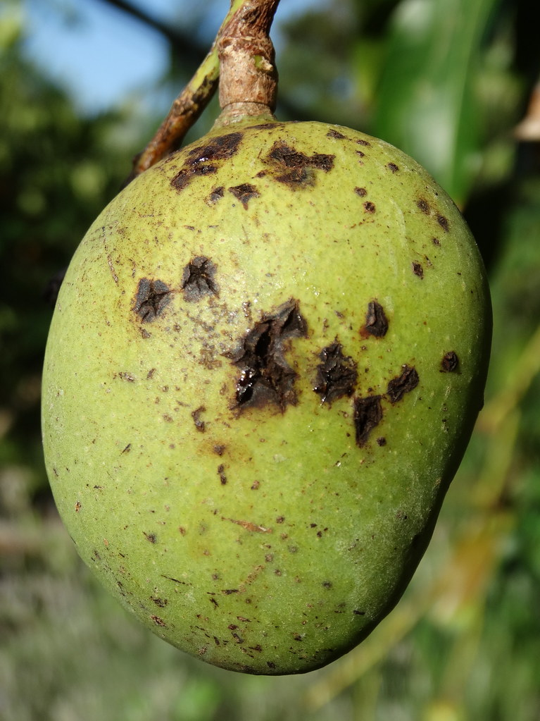 Mango Fruit Diseases Pictures