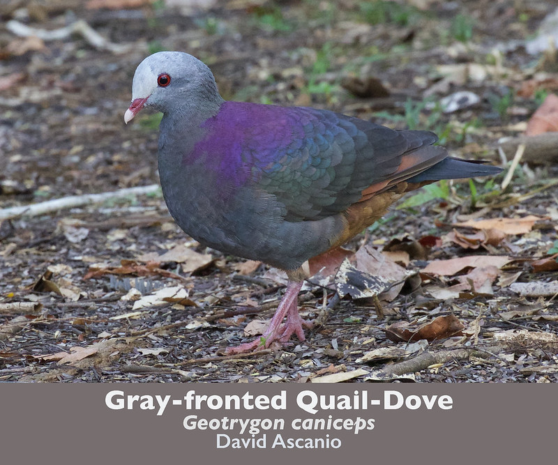 Gray-fronted Quail-Dove, Geotrygon caniceps_199A2760