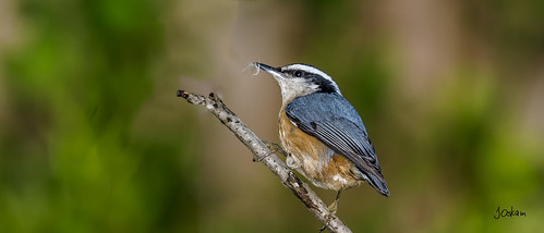 Red Breasted Nuthatch | by Jim Oskam