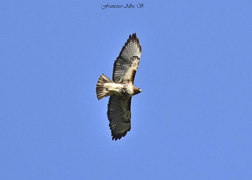 Guaraguao (Buteo jamaicensis) Red-tailed Hawk | by Francisco Alba Suriel