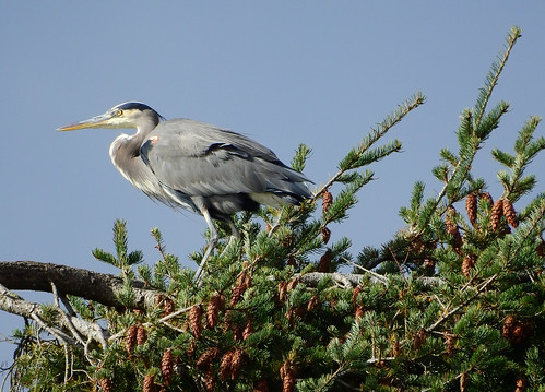 october 20 2016 11:39 - Great Blue Heron in Tree top | by boonibarb