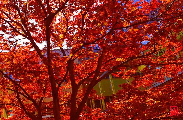 Magique lumière à travers l'érable du Japon