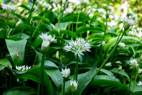wild garlic   temple newsam estate