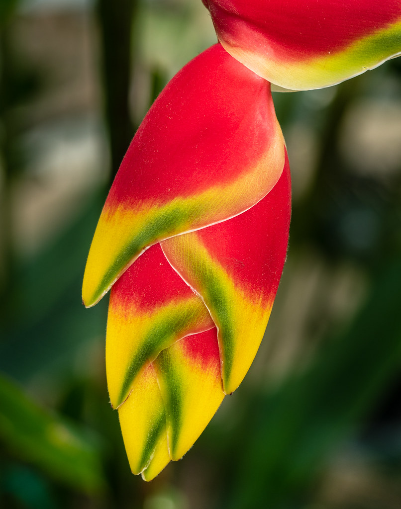 Lobster Claw plant