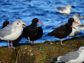 november 24 2016 14:20 - Oystercatchers & Gulls | by boonibarb