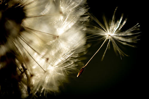 faves dslr spring wind nature flower flying motion backlit canon macro dandelion hmm sunset macromondays lowkey backlight seed takeoff