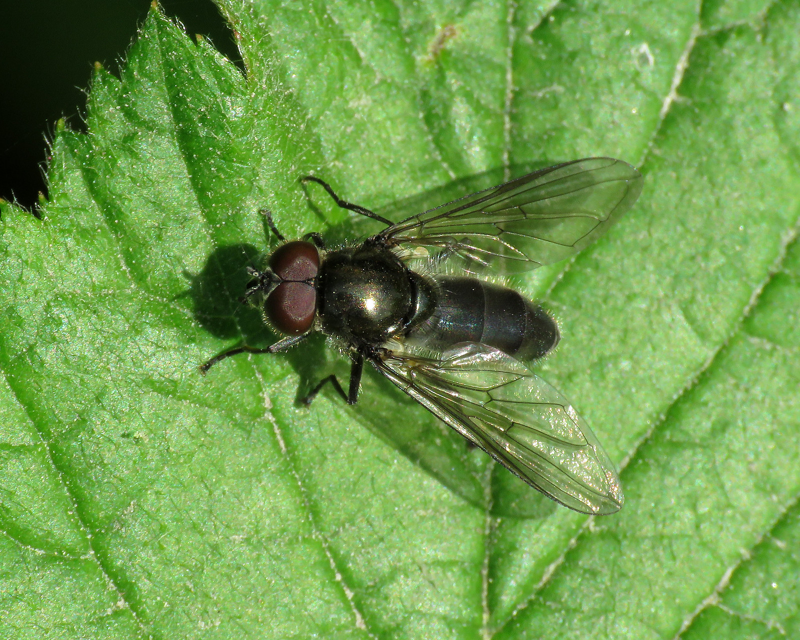 Cheilosia variabilis