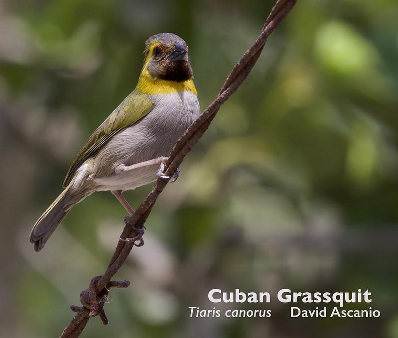 Cuban Grassquit, Tiaris canorus_199A3901